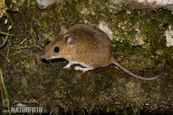 Wood Mouse (Apodemus sylvaticus)