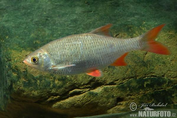 Wzdr ga zdj cia obrazki for Gartenteichfische arten