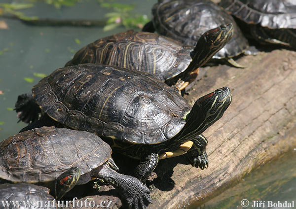 Yellow-bellied Turtle (Trachemys scripta)