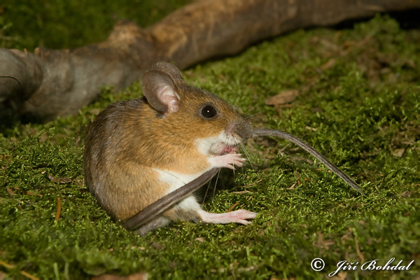 Yellow-necked Field Mouse (Apodemus flavicollis)