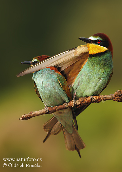 Bee-eater (Merops apiaster)