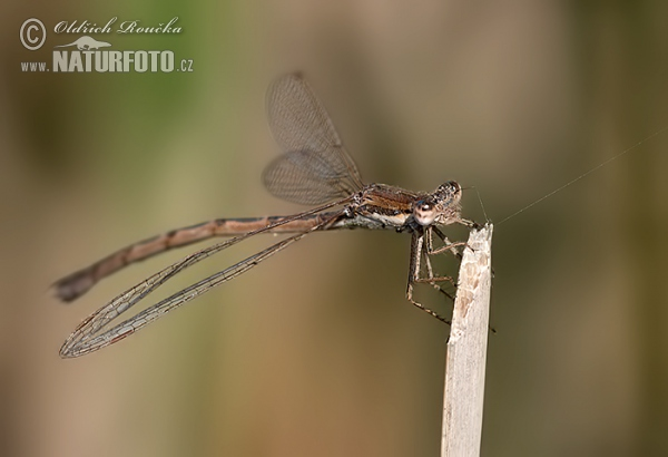 Common winter damsel (Sympecma fusca)