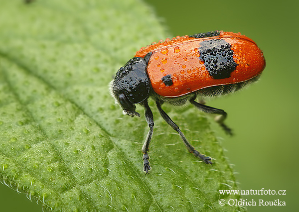 Short-horned Leaf Beetle (Clytra laeviuscula)