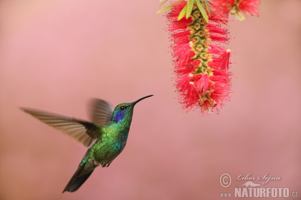Green Violet-ear (Colibri thalassinus)