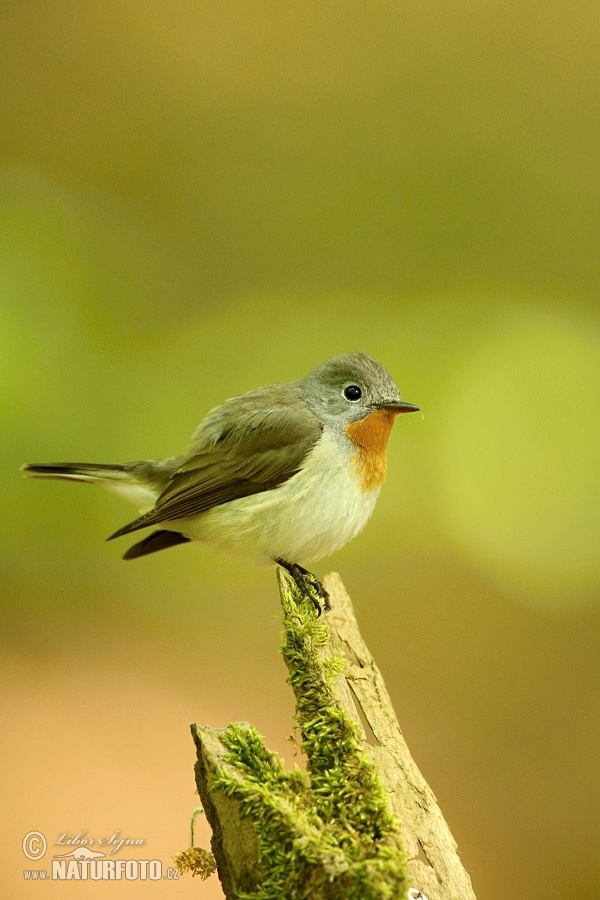 Red-breasted Flycatcher (Ficedula parva)