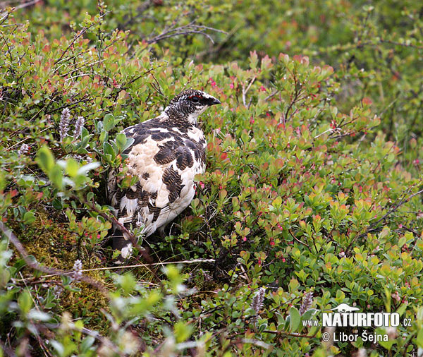Rock Ptarmigan (Lagopus mutus)