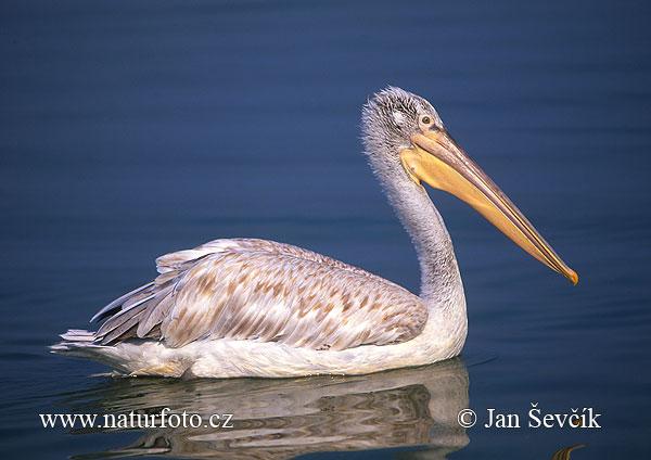 Great white pelican 49aыз493ылт бірқазан