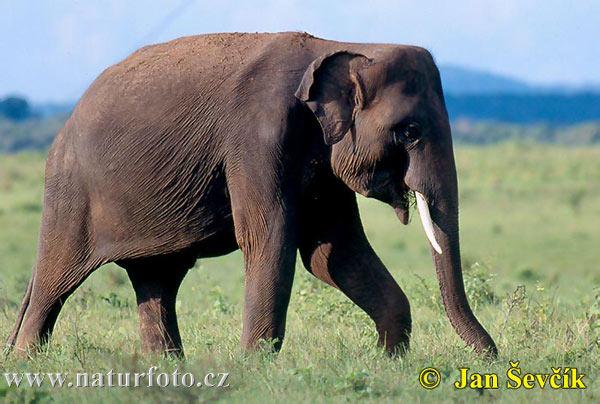 アジアゾウの画像 p1_6