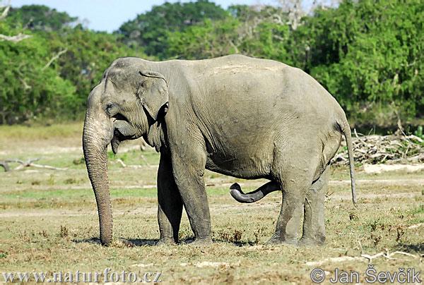 アジアゾウの画像 p1_10