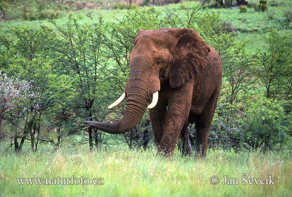 アフリカゾウの画像 p1_37