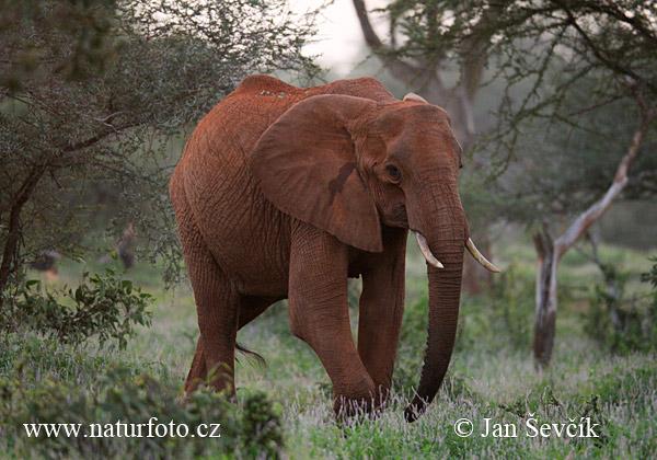 アフリカゾウの画像 p1_30