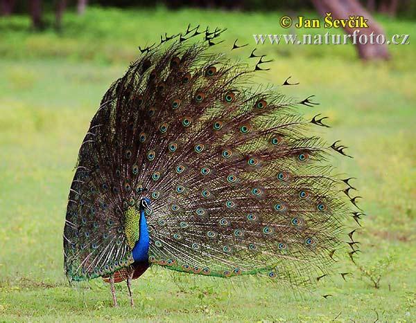 インドクジャク インドクジャク (Pavo cristatus)  インドクジャク 、写真