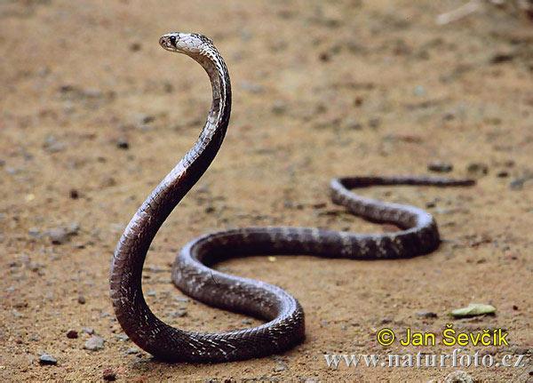 コブラの画像 p1_18
