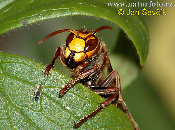 スズメバチの画像 p1_21