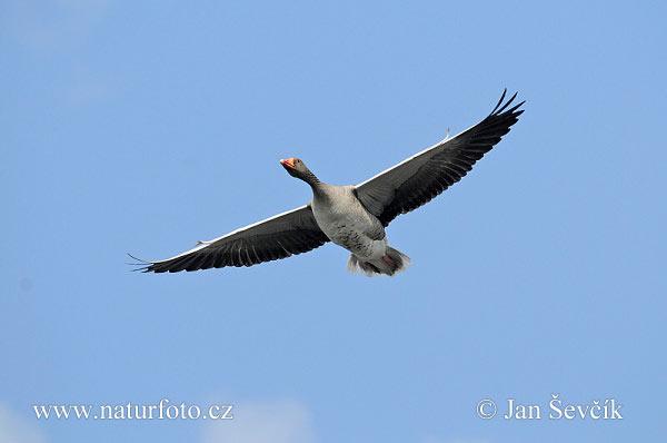 雁の画像 p1_14