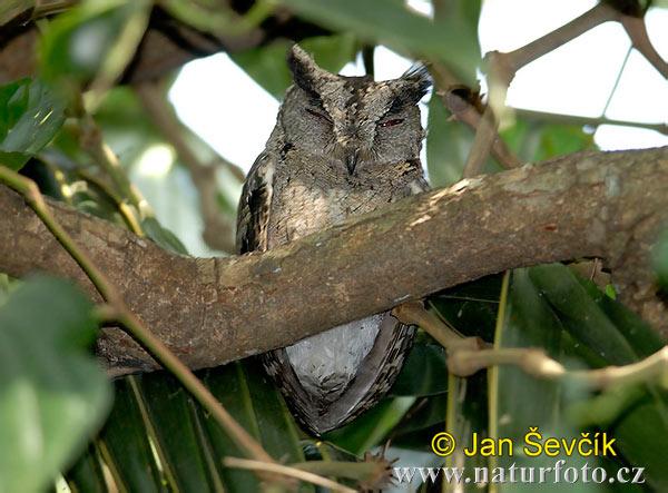 领角鸮_领角鸮 照片,圖片