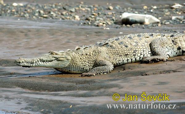 http://www.naturephoto-cz.com/photos/sevcik/american-crocodile--crocodylus-acutus-10.jpg