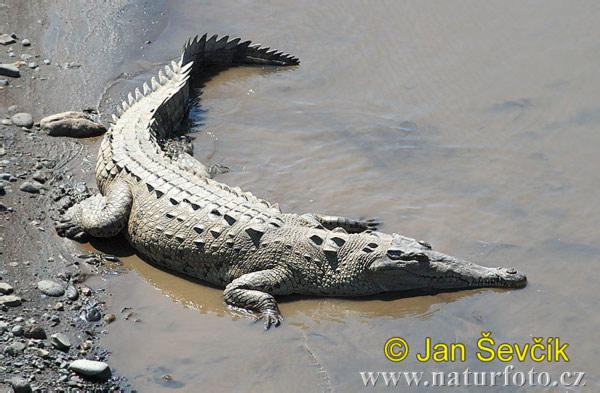 American Crocodile Facts   American Crocodile Diet & Habitat