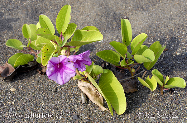 Beach Morning Glory - Goat´s Foot (Ipomoea pes-caprae)