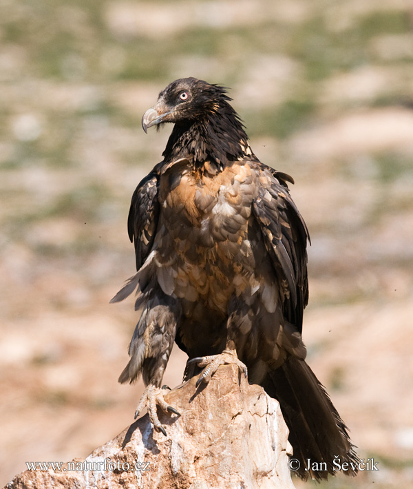 Bearded Vulture (Gypaetus barbatus)