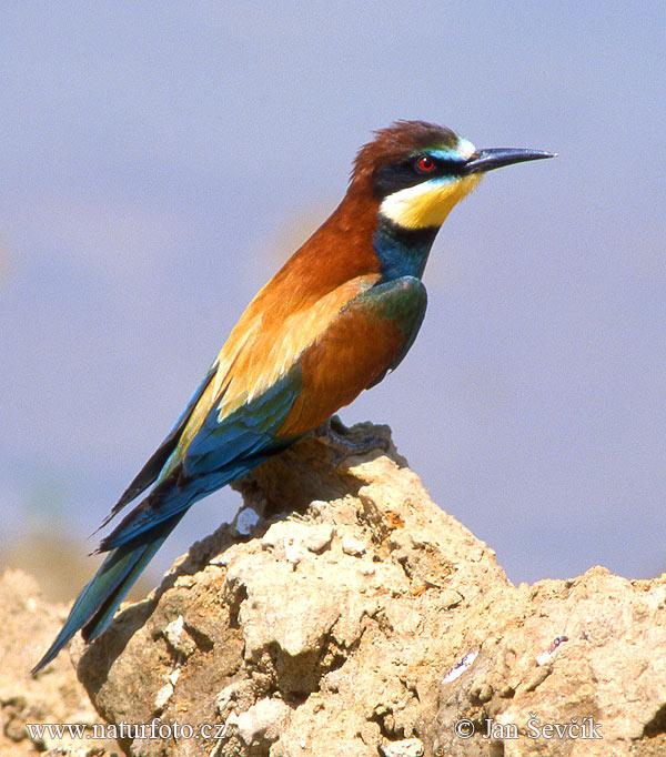 Bitininkas paukštis Nuotraukos, Paveikslėliai