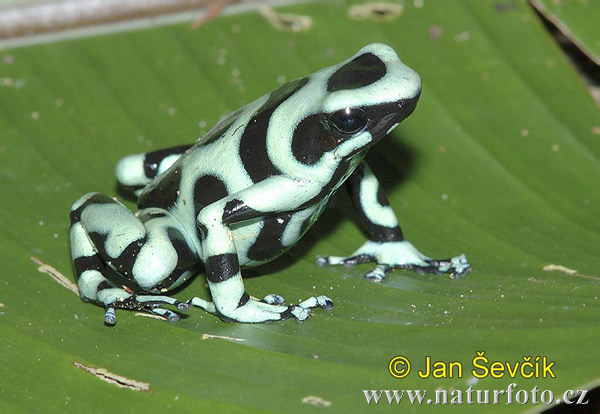 Black and Green Dart Frog (Dendrobates auratus)