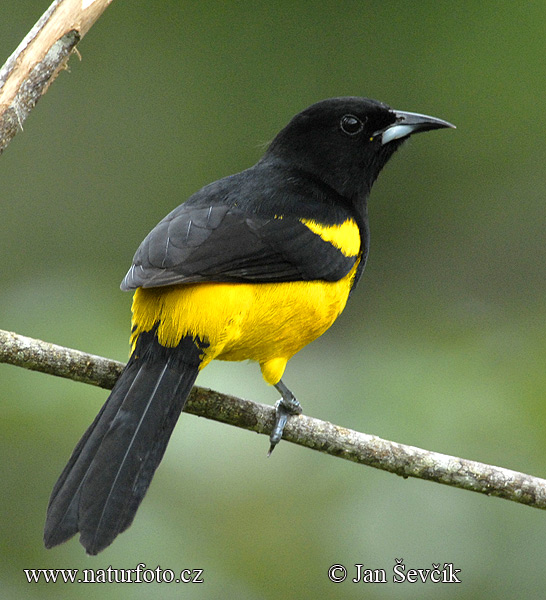Black-cowled Oriole (Icterus dominicensis)