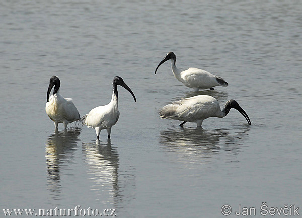 Black-headed Ibis Photos, Black-headed Ibis Images | Photobank ...