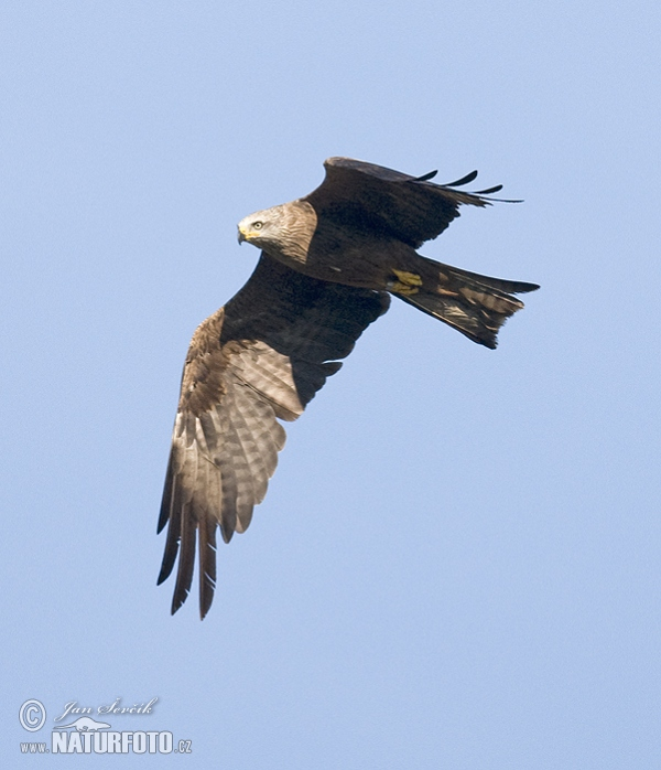 Black Kite (Milvus migrans)