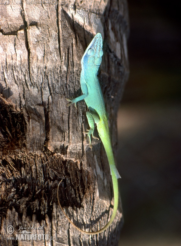 Blue headed Anole (Anolis allisoni)