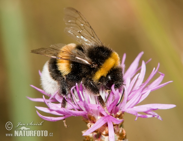 bombus terrestris pictures buff tailed bumblebee images nature