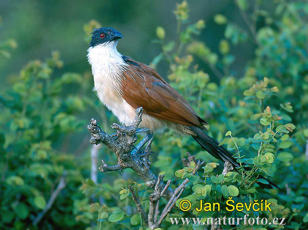 Burchell´s Coucal (Centropus burchelli)