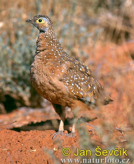 Burchell´s Sandgrouse (Pterocles burchelli)