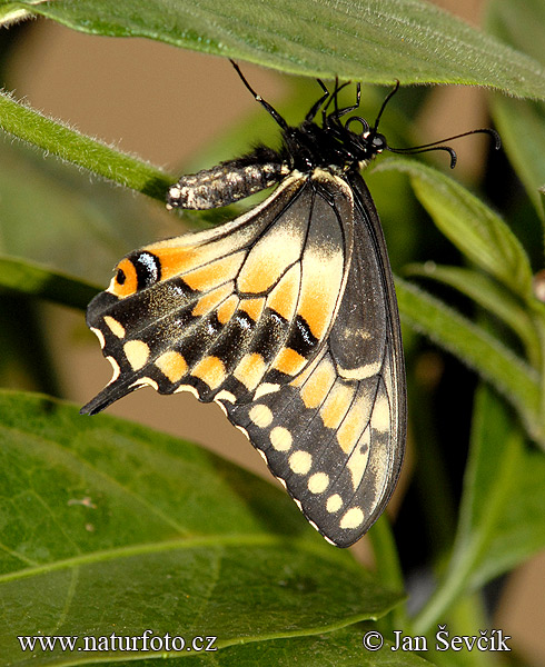 Butterfly (Papilio polyxenes)