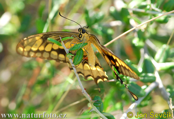 Butterfly (Papilionidae)