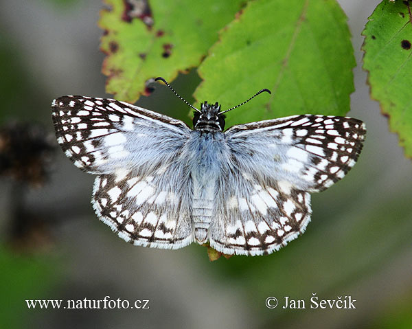 Butterfly (Pyrgus oileus)