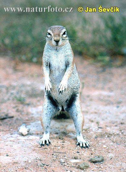 Cape Ground Squirrel Photos