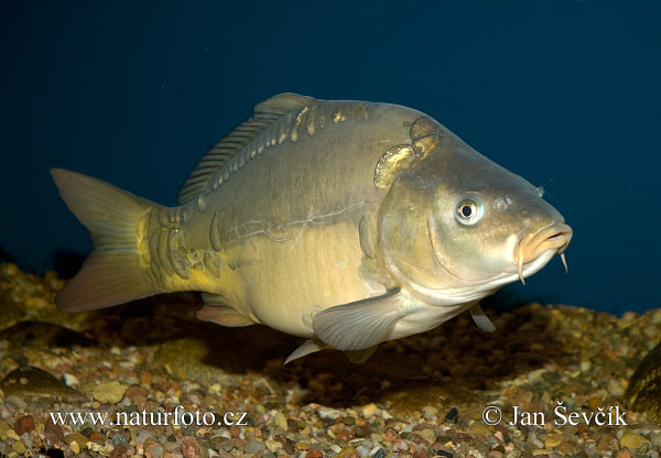 Peces animales australianos for Carpa europea