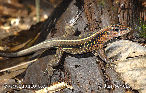 Central American whiptailed Lizard (Ameiva festiva)