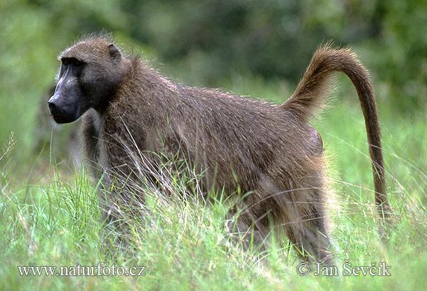 Chacma baboon - photo#1