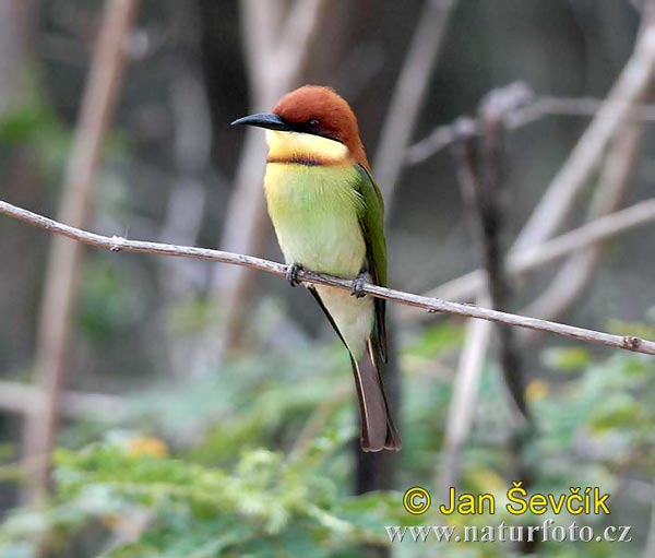 Cheatnut-headed Bee-eater (Merops leschenaulti)