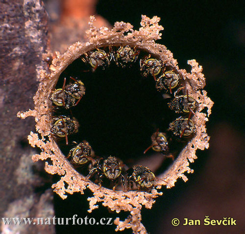 Colony of Bees (Scaptotrigona sp.)