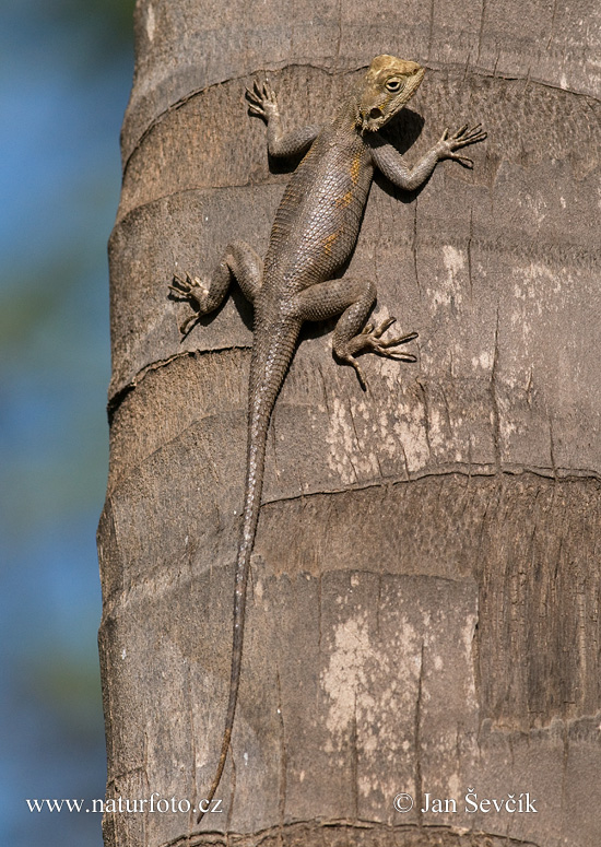 Common Agama (Agama agama)