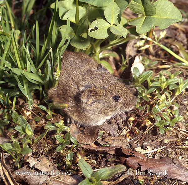 Common vole (Microtus arvalis)