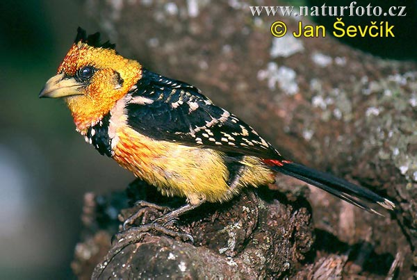 Crested Barbet (Trachyphonus vaillantii)