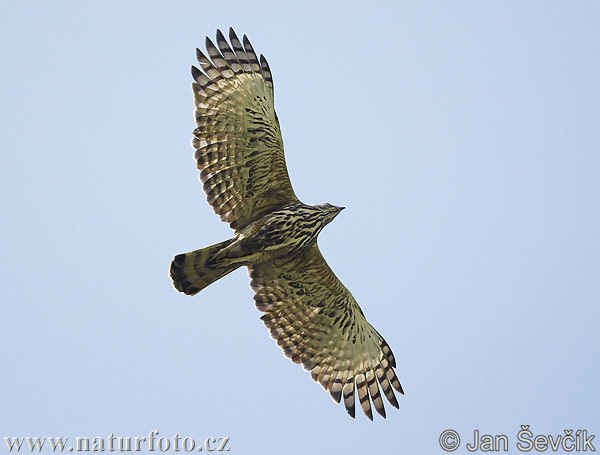 Crested hawk-Eagle (Spizaetus cirrhatus)