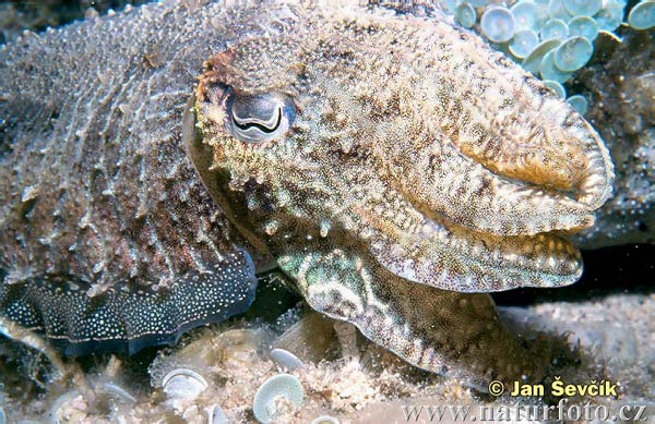 Cuttle Fish (Sepia officinalis)