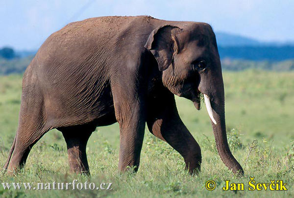 Éléphant d'Asie Photographie