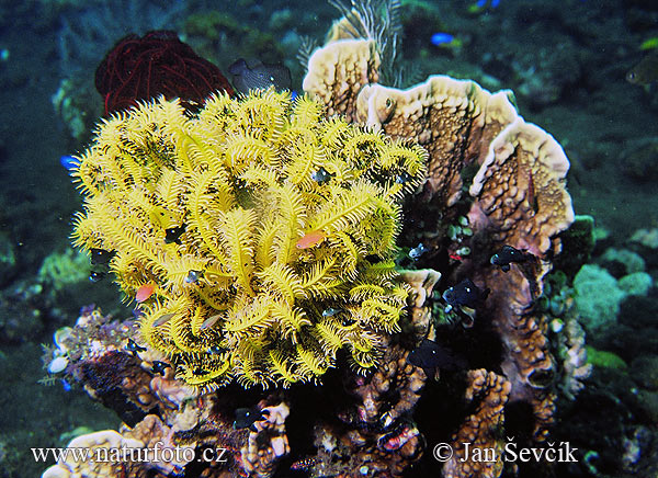 Feather Star (Comanthina sp.)