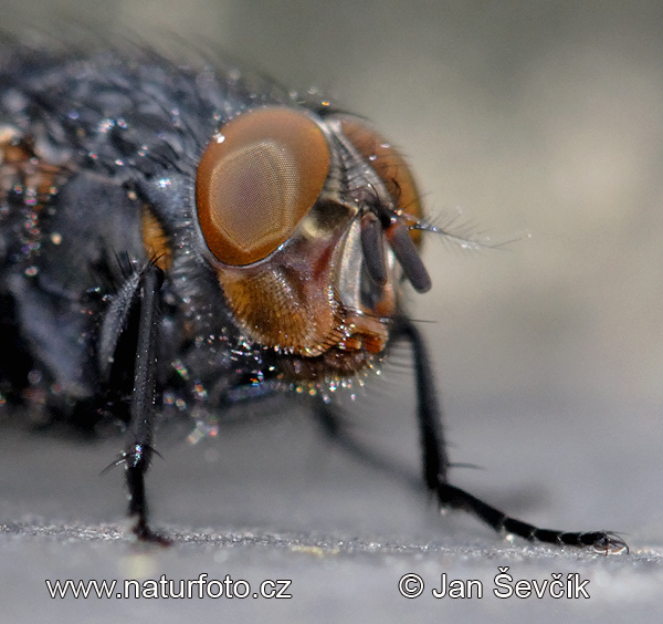 Fly (Calliphora vicina)